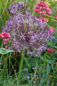 Bilde av Allium cristophii