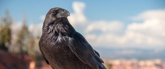 The Rewilding of Southern Canada Has Brought Back the Raven