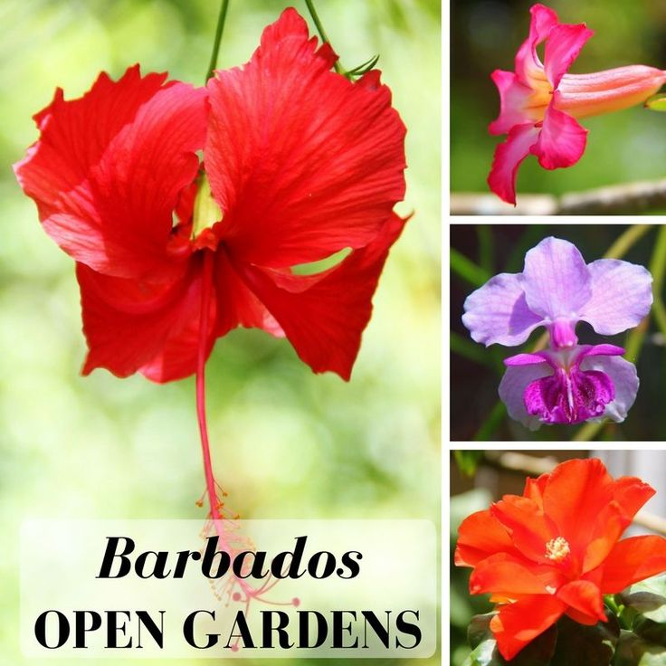 Visiting Barbados between January and March? Be sure to visit the spectacular tropical gardens specially open to the public.