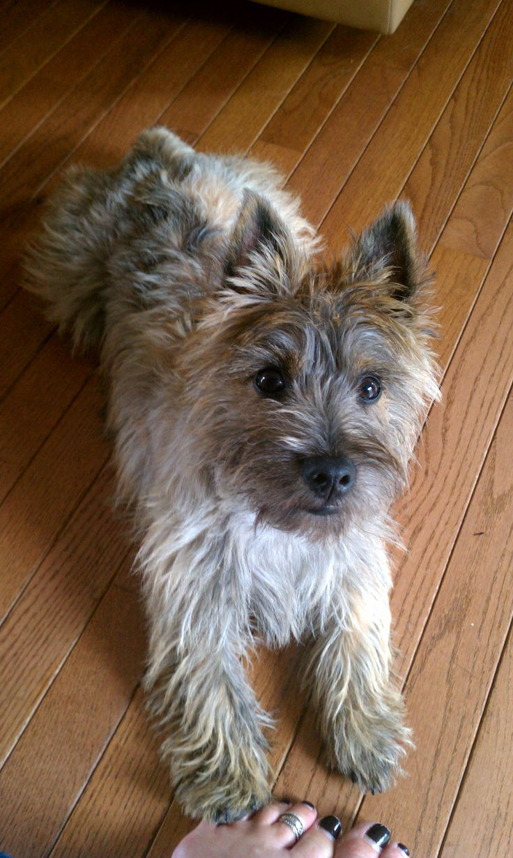 So cute.  Charlie is half Cairn Terrier.  @Amanda Snelson Snelson Good - this is the little guy we saw at the park!