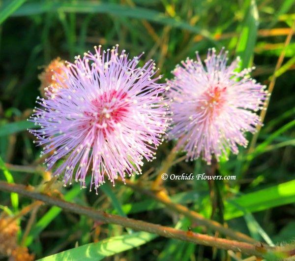 Sensitive Plant (Mimosa pudica)