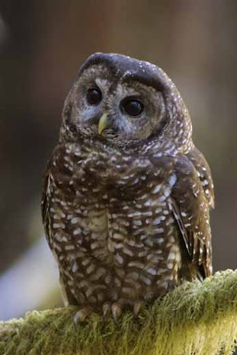 Northern Spotted Owls ...on the national endangered list.Driving these owls into extinction are #1 Loss of old growth forest habitat to logging and wildfire. # 2 The barred owl overtaking the forests.