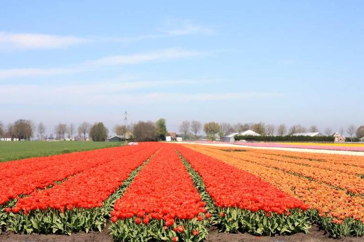 Entre campos de tulipanes, Holanda - @somosviajeros