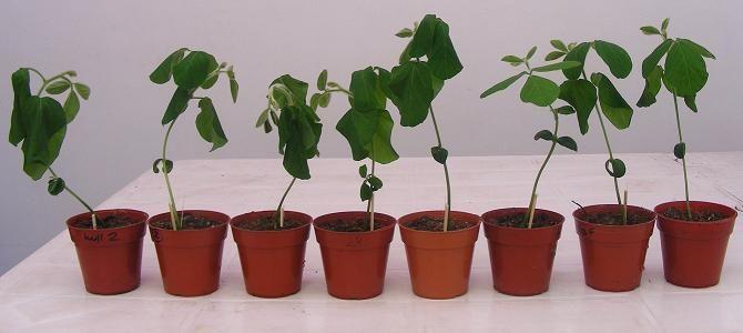 India patento tecnologia para plantas tolerantes a las sequias