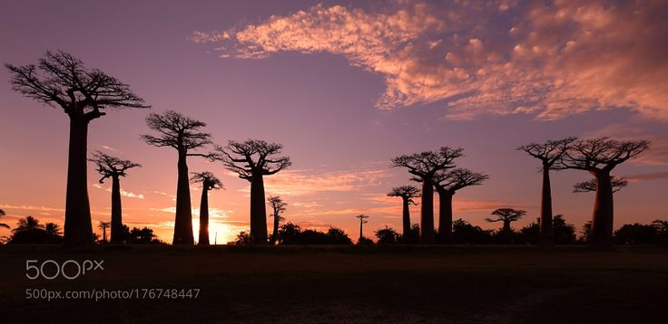 Popular on 500px : Avenue of the Baobabs Madagascar by dietmartemps