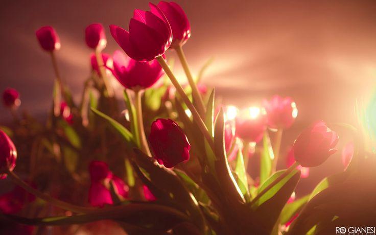 tulipas vermelhas vibrantes Vetor