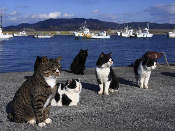 Resultado de imagem para tashirojima cat island