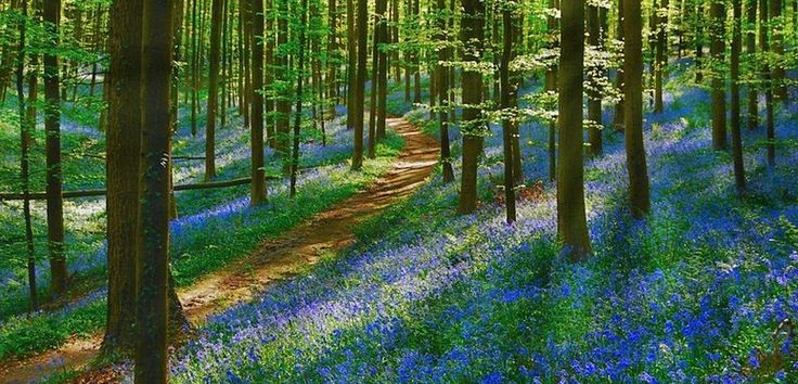 Hallerbos es un bosque conocido por el tono azul que adopta a principios de la primavera debido al florecimiento de los jacintos silvestres.