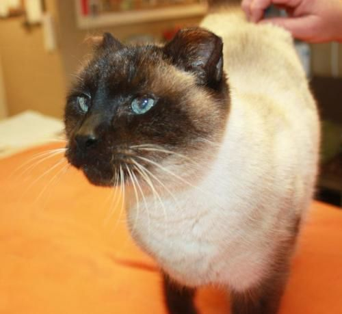 Minkie has a story to tell if she could talk. A siamese or  mix kitty, 8yr or more & may be altered, but she hasn't been checked by a vet. She's had her ears & tail cut at some point. Poor girl has been thru a lot it seems, & needs a good place to live out her life. And yet she's being posted as #SpecialNeeds since she sprays and probably can't be an inside kitty. There must be a good place out there for Minkie, for she has been thru enough! JACKSON COUNTY ANIMAL SHELTER Cottageville, WV
