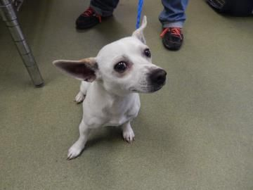 22682381 Species	Dog BreedChihuahua, Short Coat/Mix Age	2 years 10 days Sex	Male  Size	Small ColorWhite/Brown San Antonio Humane Society at 4804 Fredericksburg Rd. or call (210) 226-7461.