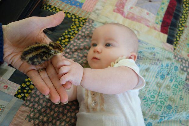 Deyton wants to hold the baby quail chicks.