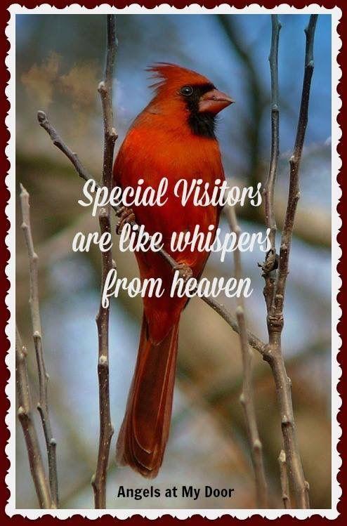 Meaning of cardinals... los visitantes especiales son como susurros del cielo.