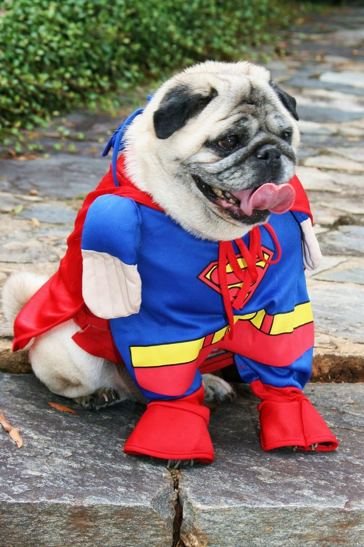 58 best Pug Costumes HaHaHa images on Pinterest