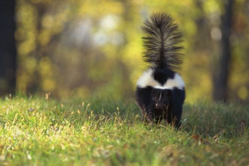 How to Get Rid of a Skunk in the Yard | Skunk smell ...