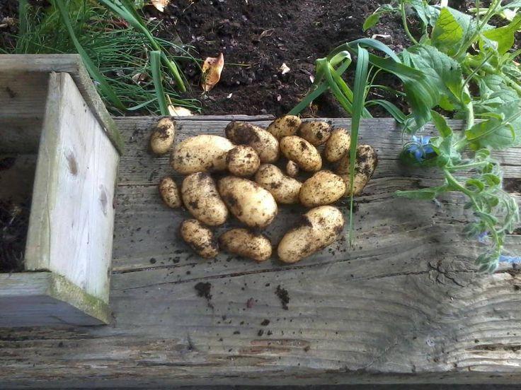 aardappels-kruiden-natuurlijke-moestuin-mulchen-Frankrijk