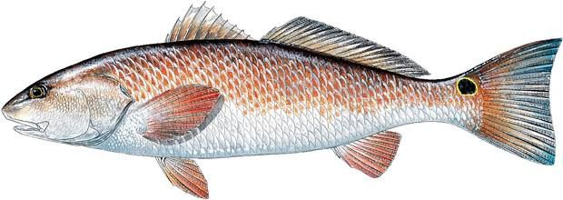 "Today we are sharing details on how to catch a #redfish also known as a #reddrum here @fishingtipsflorida Florida Requires a Fishing License unless other wise stated You can get yours at #walmart or any other sporting goods / Bait shop in Florida. Florida Residents can get a free saltwater shoreline and structures license. Current size restrictions in Florida are as follows: Not less than 18"" no more than 27"" total length. Current bag limit varies depending on your location. North East 2…"