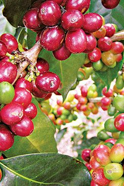 """Costa Rica's coffee plantations arebeing devastated by a fungus called """"coffee rust."""" The 2013-14 harvest may be halved in the hardest hit farming areas. What's worse is that coffee rust is affecting crops in other countries, and a University of Michigan in Ann Arbor-based ecologist named John Vandermeer tells Nature that the outbreak now includes """"reports of devastation in Nicaragua, El Salvador and Mexico."""" - http://www.PaulFDavis.com global food consultant, health coach…"""