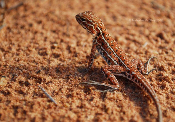 Lizard or Ctenophorus by TypicalTash