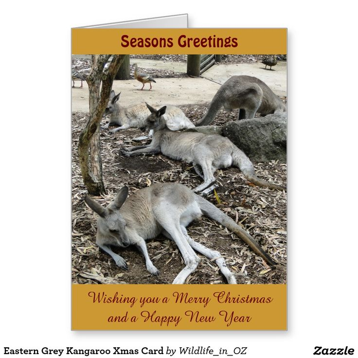 Eastern Grey Kangaroo Xmas Card - Australian Wildlife. Click on photo to view item then click on item to see how to purchase that item. #christmascard #xmascard #kangaroo #easterngreykangaroo #wildlife #australianwildlife #zazzle