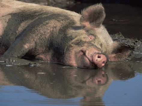 Domestic Pig Wallowing in Mud, USA | To be, Meat and Pigs