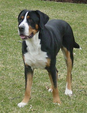 Greater Swiss Mountain Dog.  Related to the Bernese Mountain Dog, but with short hair!!  I NEED one.