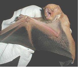 murciélago rojo del desierto, (Lasiurus blossevillii) también conocido como murciélago rojo del oeste, es una de las muchas especies de murciélagos de la familia de vespertiliónidos la cual es la familia más numerosa. Incluye 35 géneros y 318 especies. También conocido como la familia de murciélagos nocturnos. Y también los murciélagos del oeste son especies parientes.