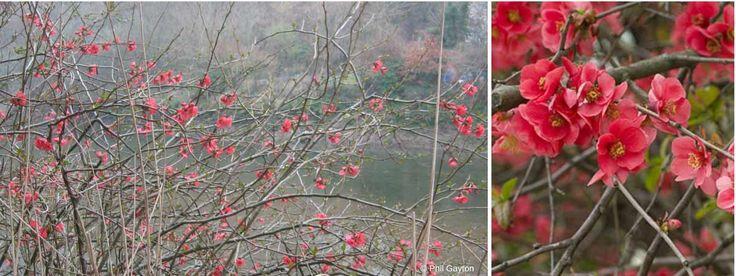 Cognassier du Japon : planter, tailler et entretenir / Blog Promesse de fleurs