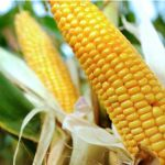 With corn prices at multi-year lows, farmers are cutting costs, downsizing and shifting their focus, which has left agriculture-based businesses struggling to play catch up. But a decision to accept some genetically modified crops in China could mean a revival for the sector.