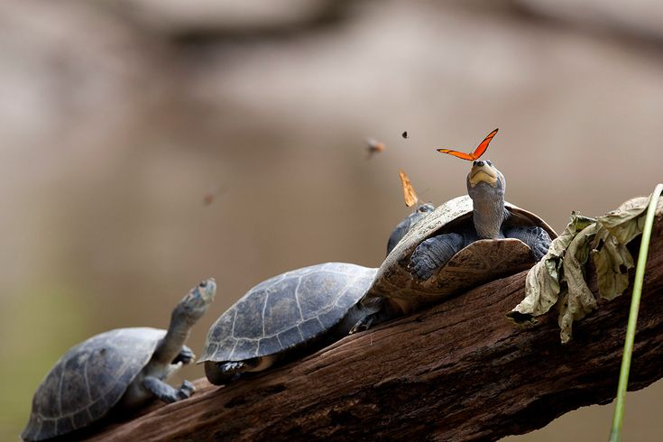 A Pair of Butterflies Photographed While Drinking the Tears of Turtles in Ecuador  http://www.thisiscolossal.com/2015/08/turtle-tear-butterflies/