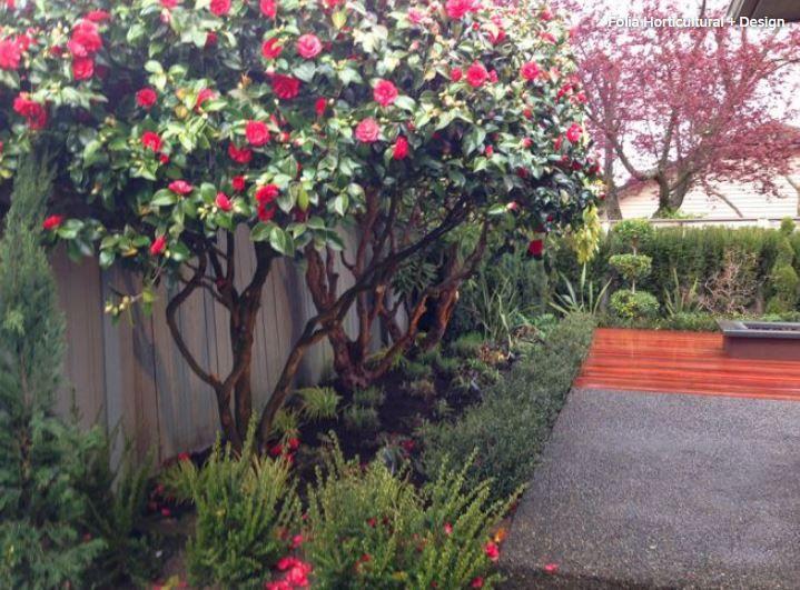 Training Camellia Into A Small Tree Landscaping Along Fence Fence Landscaping Camellia Tree