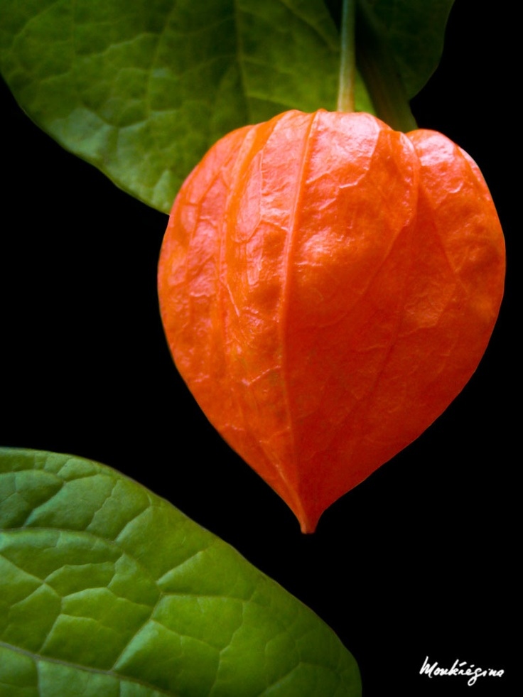 17 best images about physalis
