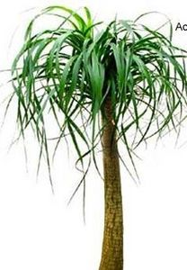 How to care for a Ponytail Palm Tree