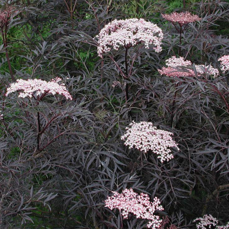 Sambucus nigra f. porphyrophylla Black Lace = 'Eva' Elder - 3 litres