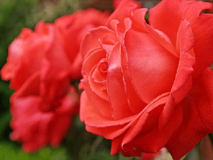Фотографии цветов садовых роз