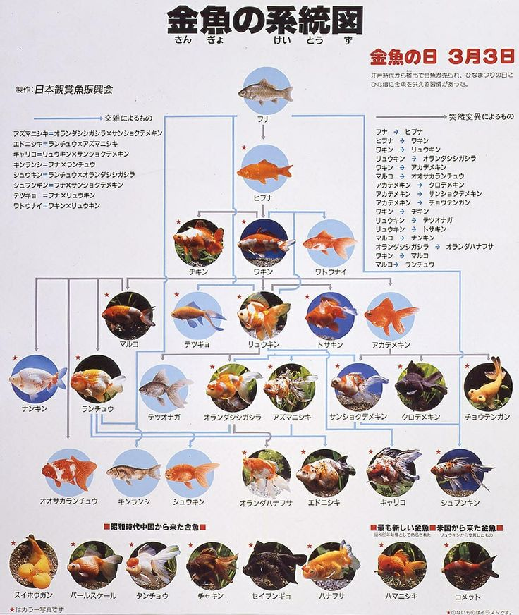 Goldfish family tree goldfish for the pond pinterest for Koi fish family