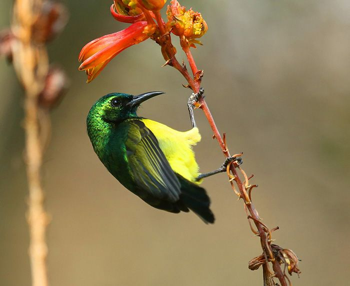 Bright colours in flowers serve mainly to attract pollinators such as sunbirds. Pictured here is a collared sunbird, whose iridescent green head and yellow underbelly are unmistakeable. Photograph by Anthony Goldman