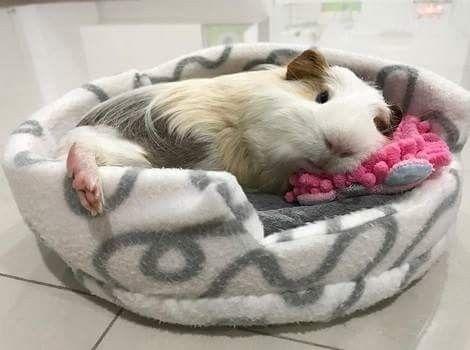 Guinea Piggy Love