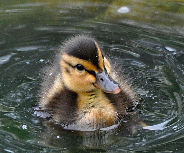 Baby Mallard Ducks 6 Weeks | Baby Mallard Duck 6