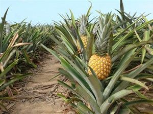 Pineapple Groves... easy to grow inside (sweeter fruit) or outside, any soil preferably acidic, plant the crown or seeds...