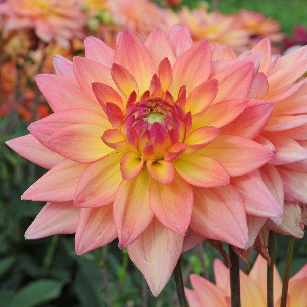 Dahlie 'Melody Dora' - wunderschöne Blüten in Apricot <3 Pflanzzeit ist im Frühling. Knollen gibt's bei www.fluwel.de