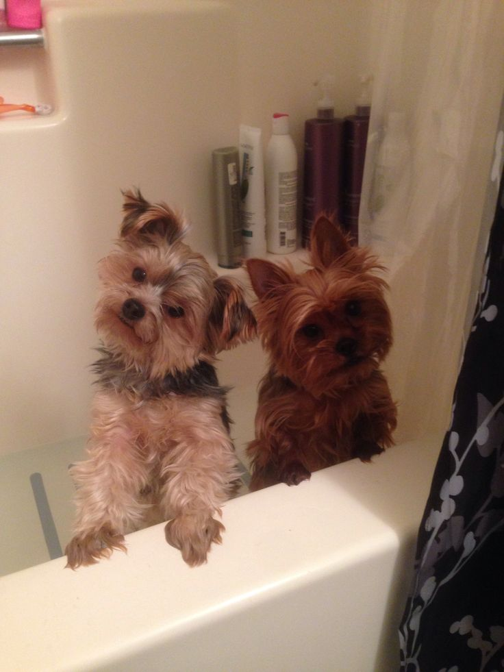 #yorkie #bathtime #adorable