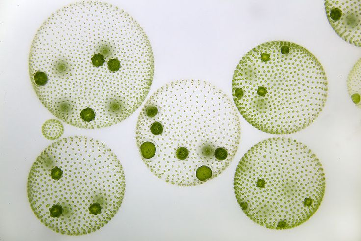 Volvox: Eukarya, Archaeplastida, Chlorophyta. Photoautotrophic - Multicellular (Colonial) - Daughter Colonies - Freshwater - Chloroplasts from Primary Endosymbiosis of Cyanobacteria - Store Starch - Outer Flagella
