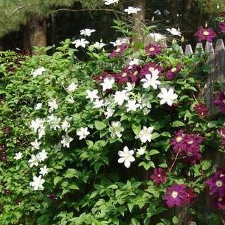 haag van tuinplanten (wintergroen) - 12 hedera 80-100 cm hoog 2 Lonicera Hall's Prolific aan begin, midden en eind van het hekwerk (wit/geel; bloeitijd juni-augustus) 1 Clematis Nelly Moser (lichtpaars met karmijnrode streep; bloeitijd mei-juni) 1 Clematis Jackmanii (violet paars; bloeitijd juli-september) 1 Clematis Montana (roze wit; bloeitijd mei-juni) 1 Clematis Summer Snow (wit; bloeitijd juli-augustus/september)