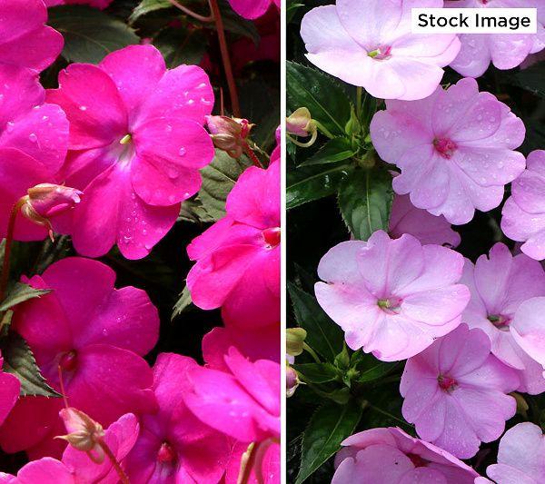 Cottage Farms 4 Piece Next Generation Sunpatiens Qvc Com In 2020 Pink Geranium Geraniums Farm
