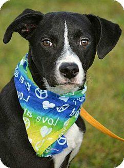 4/29/17 New York, NY - Labrador Retriever/Hound (Unknown Type) Mix. Meet Huey, a dog for adoption. http://www.adoptapet.com/pet/18039440-new-york-new-york-labrador-retriever-mix