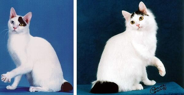 """Japanese Bobtail a pelo corto ---- Sono ammesse tutte le colorazioni, ma sono più diffusi gli esemplari con mantello bianco con poche e ben marcate macchie di colore (detti Giapponesi """"mi-ke""""). Anche gli occhi della razza non hanno limitazioni e sono ammessi anche gli esemplari con occhi impari."""