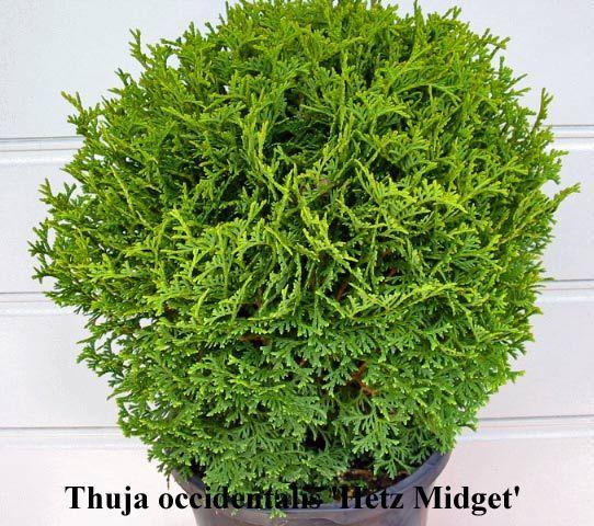 Thuja occidentalis hertz midget