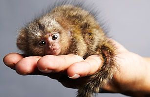 The pygmy marmoset is one of the world's smallest monkey breeds. Grown ones weigh only 4 oz. to 5 oz. (110 g to 140 g) and grow to be a mere 6 in. (15 cm) long.