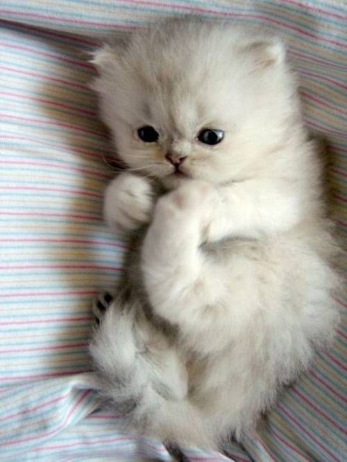 "Cute Kitten! (=^.^=) Thanks, Pinterest Pinners, for stopping by, viewing, re-pinning, & following my boards.  Have a beautiful day! ^..^ and ""Feel free to share on Pinterest ^..^   #catsandme #cats"