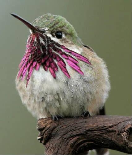 A Calliope Hummingbird...pretty in pink.